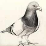 duif tekening