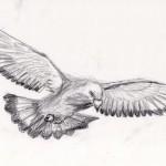 duif vliegt tekening